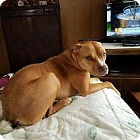 Adopt A Pet :: Dewars - Fenton, MO