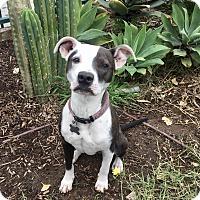 Adopt A Pet :: Apple - Mission Viejo, CA
