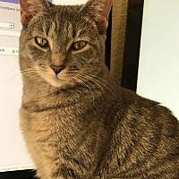 Domestic Shorthair Cat for adoption in Virginia Beach, Virginia - Elena