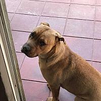 Adopt A Pet :: Cinnamon - Monrovia, CA