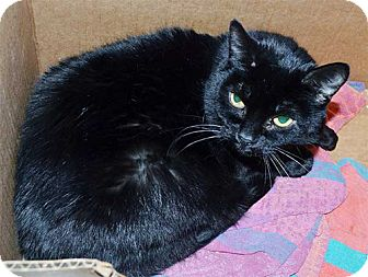 Domestic Shorthair Cat for adoption in Laguna Woods, California - Best Friends Bonnie and Bethan