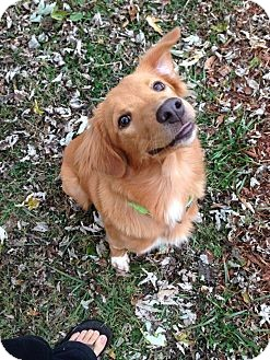 Golden Retriever Mix Puppy for adoption in White River Junction, Vermont - Brook