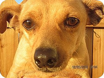 Chihuahua/Spaniel (Unknown Type) Mix Dog for adoption in Littlerock, California - Larry