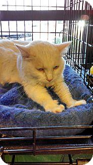 Domestic Mediumhair Cat for adoption in Scottsdale, Arizona - social, white beauty!