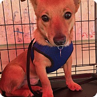 Adopt A Pet :: Chester - North Hollywood, CA
