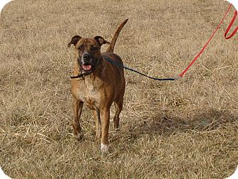 Boxer/Mastiff Mix Dog for adoption in Cameron, Missouri - Ripley