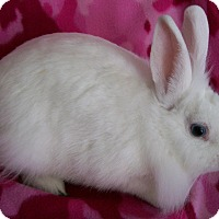 Lionhead Mix for adoption in Harrisburg, Pennsylvania - Dory