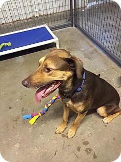 German Shepherd Dog/Rottweiler Mix Dog for adoption in Kingman, Kansas - Jordy