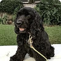 Adopt A Pet :: Bella/Zuzu - Sugarland, TX