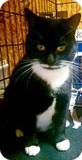 Domestic Shorthair Cat for adoption in Danbury, Connecticut - Goodwyn