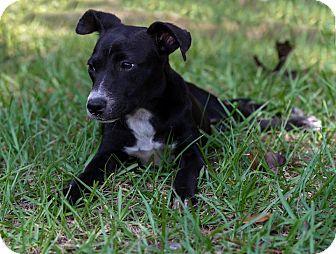 Rat Terrier/Smooth Fox Terrier Mix Puppy for adoption in Weeki Wachee, Florida - Cagne