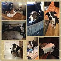 Adopt A Pet :: Bruno - Hicksville, NY