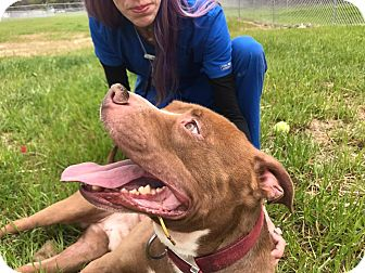 Pit Bull Terrier Mix Dog for adoption in Henderson, North Carolina - Beck (HW Pos)*