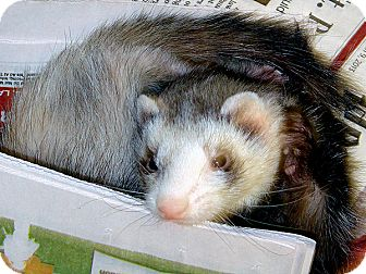 Ferret for adoption in Buxton, Maine - Jinny