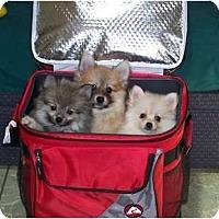 Adopt A Pet :: Miller - Antioch, IL