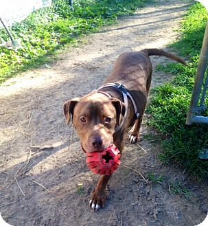 American Pit Bull Terrier/Labrador Retriever Mix Dog for adoption in Salem, Ohio - Brooklyn