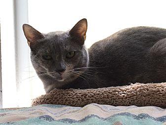 Domestic Shorthair Cat for adoption in Prescott, Arizona - Ashley