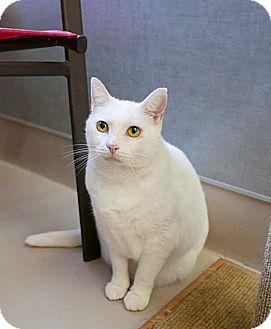Domestic Shorthair Cat for adoption in Kingston, Washington - Vickie