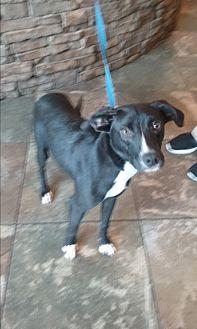 Labrador Retriever Mix Dog for adoption in Russellville, Kentucky - Harleigh