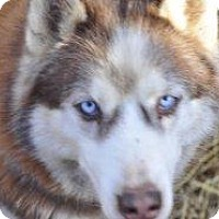 Siberian Husky Mix Dog for adoption in Shingleton, Michigan - Bear - SANCTUARY
