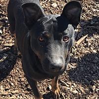 Adopt A Pet :: Ava - Russellville, KY