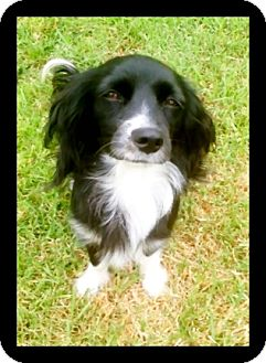 Cocker Spaniel Mix Dog for adoption in Irvine, California - CANDY