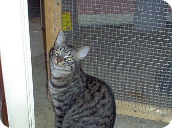 Domestic Shorthair Cat for adoption in Toronto, Ontario - Mesquite