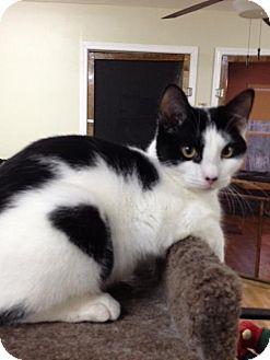 Manx Cat for adoption in Monroe, Georgia - Murray