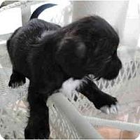 Adopt A Pet :: Shadow-adoption pending - Glastonbury, CT