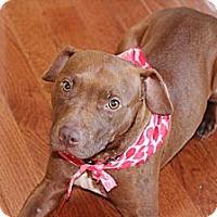Adopt A Pet :: Bindie - Reisterstown, MD