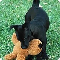 Adopt A Pet :: Lolly - La Habra Heights, CA