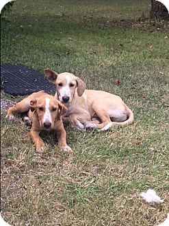 Labrador Retriever/Hound (Unknown Type) Mix Puppy for adoption in Burlington, Vermont - A - Clinton OR Donald