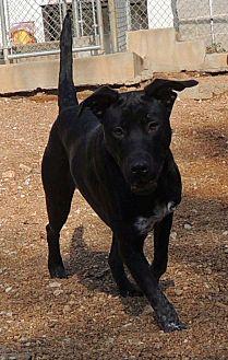Labrador Retriever Mix Dog for adoption in House Springs, Missouri - Darcy