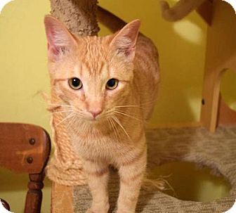 Siamese Kitten for adoption in Greeley, Colorado - Gage