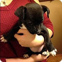Adopt A Pet :: Tweety - Lomita, CA