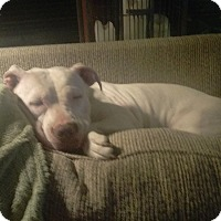 American Pit Bull Terrier Dog for adoption in Aurora, Illinois - Kaya