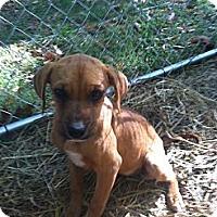 Adopt A Pet :: Puppies - Dandridge, TN