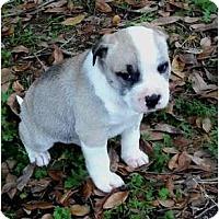 Adopt A Pet :: Dasher - Glastonbury, CT
