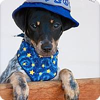 Adopt A Pet :: Scooter - Albany, NY