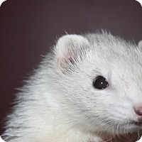 Adopt A Pet :: Mia - Chantilly, VA