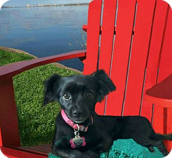 Spaniel (Unknown Type)/Tibetan Spaniel Mix Dog for adoption in Redondo Beach, California - Coco