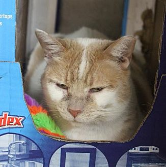 Domestic Shorthair Cat for adoption in Herndon, Virginia - Lulu