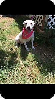 Shepherd (Unknown Type)/Pit Bull Terrier Mix Dog for adoption in White Settlement, Texas - Dixie