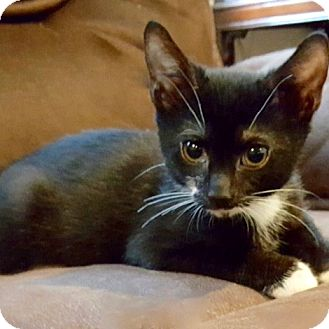 Domestic Shorthair Kitten for adoption in Long Beach, New York - Allister