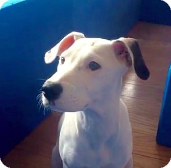 Husky/Beagle Mix Puppy for adoption in New York, New York - Becca