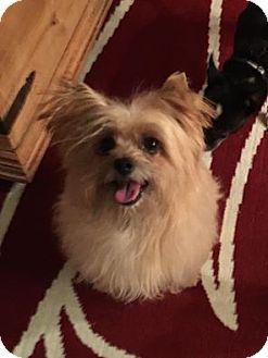 Yorkie, Yorkshire Terrier/Silky Terrier Mix Dog for adoption in Las Vegas, Nevada - Taj