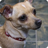 Adopt A Pet :: Pancho - Rockwall, TX