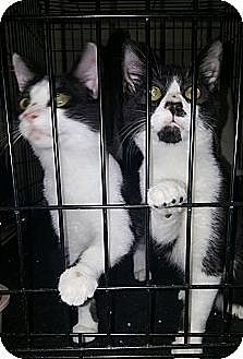 Domestic Shorthair Kitten for adoption in Albemarle, North Carolina - Ronald Reagan