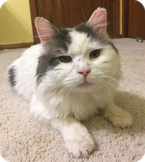Domestic Longhair Cat for adoption in St Paul, Minnesota - Henry