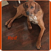 Adopt A Pet :: Red - Elburn, IL